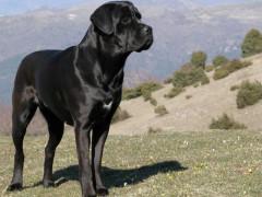 Aggressione cane corso ad Ancona