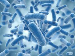 Il batterio Listeriosi monocytogenes