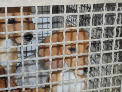 I cani sequestrati a Montemarciano dal Corpo Forestale dello Stato