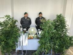 """Sequestrata una piantagione """"domestica"""" di marijuana"""