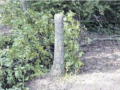Albero tagliato alla Castagnola