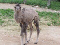 Cucciolo di cammello nato al Parco Zoo di Falconara