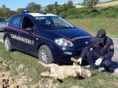 Carcassa di lupo rinvenuta ad Ancona